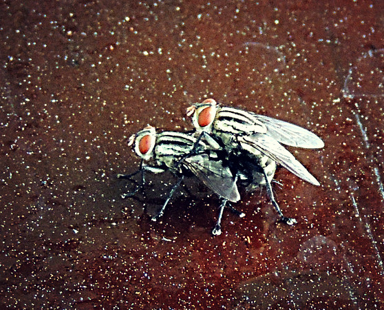 Houseflies making more