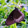 Common Crow (butterfly)