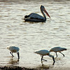 Spot-billed Pelican and Eurasian Spoonbills