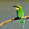 Little Green Bee-Eater (female)