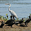 Grey Heron with Little Cormorants