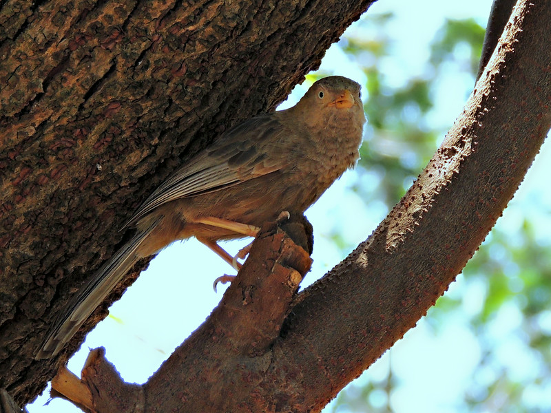 Yellow-billed Babbler