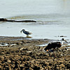 Woolly-necked Stork;; Black-crowned Heron with fish; Crocodile