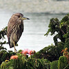 Indian Pond Heron in tree