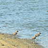 Kentish Plovers
