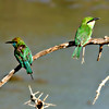 Little Green Bee-Eater Pair