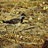 Red-Wattled Lapwing Chick
