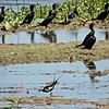 Little Cormorants and Pheasant-tailed Jacana