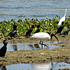Sacred Ibis, Little Cormorants and Egret