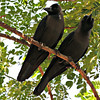 Jungle Crows