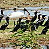 Sacred Ibis with Little Cormorants