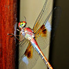 Roosting Dragonfly