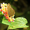 Papillionid Butterfly on Lantana