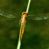 Oriental Scarlet Dragonfly (female)
