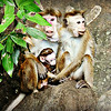 Toque Macaques - females and infant