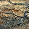 Tufted Grey Langurs and Axis Deer