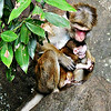 Toque Macaques - female and infant
