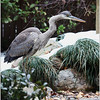 Great Blue Heron, Atlanta, Ga, backyard pond.