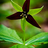 Wake-Robin; Purple Trillium, Birthroot