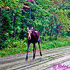 On Unsteady Legs Baby Moose on Golden Road of Northern Maine (USA ME Millinocket)