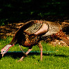 Close-up photo of a Wild Turkey within Longenecker Gardens of the University of Wisconsin Madison Arboretum (USA WI Madison)