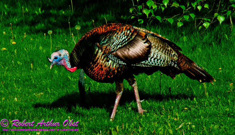 Colorful iridescent bold Wild Turkey during springtime within Longenecker Gardens of the University of Wisconsin Madison Arboretum (USA WI Madison; Obst FAV Photos 2012 Nikon D300 Nature Enchanting Image 1466)