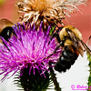 Honey bees on a Common Thistle by the Wild Wolf River within the Wolf River Refuge (USA WI White Lake)