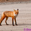 A shy Red Fox or Vulpes vulpes on the Denali Park Road within Denali National Park of Alaska (USA Alaska Denali Park)