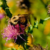 Honey bee on a colorful Common Thistle by the Wild Wolf River within the Wolf River Refuge and northeastern Wisconsin (USA WI White Lake)