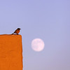 Bird presiding over the moon, Oakland, CA