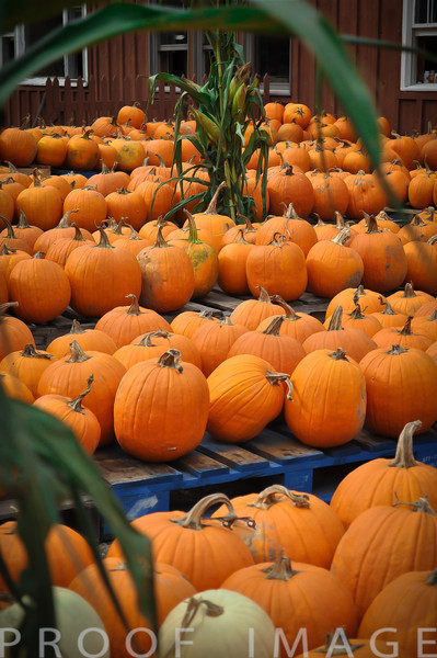 Pumpkins and More Pumpkins