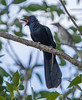 Common Koel (Male) (Eudynamys scolopacea)
