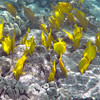 We saw these yellow tangs in great numbers, and and many other reef fish.  That night, Carrie, Rick and I had an excellent home-cooked meal.  All I wanted to do was stay another day, but that will have to wait until next time.