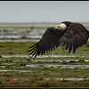 Bald Eagle Estuary