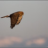 Northern Harrier Spotting
