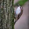 Brown Creeper 1