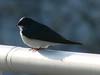 May 12, 2009 - (Melvin Price Locks and Dam [on railing above the dam] / Alton, Madison County, Illinois) -- Tree Swallow
