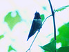 May 22, 2009 - (Forest Park [Kennedy Forest] / Saint Louis, Missouri) -- Ruby-throated Hummingbird