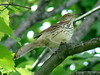 June 4, 2009 - (Simpson Lake County Park [over the bicycle trail] / Valley Park, Saint Louis County, Missouri) -- Brown Thrasher