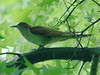 May 30 2009 - (Simpson Lake County Park [near playground and bicycle trail] / Valley Park, Saint Louis County, Missouri) -- Black-billed Cuckoo