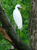 May 30 2009 - (Simpson Lake County Park [over spillway] / Valley Park, Saint Louis County, Missouri) -- Great Egret
