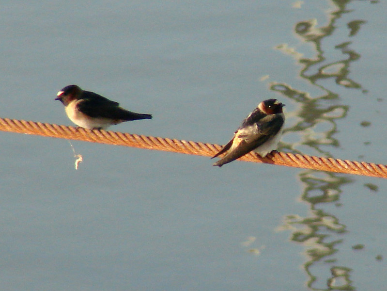 May 12, 2009 - (Melvin Price Locks and Dam [on cable attached to Army Corps of Engineers boat] / Alton, Madison County, Illinois) -- Cliff Swallows