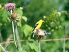 June 19, 2009 - (Parkway Central High School [under redio tower] / Chesterfield, Saint Louis County, Missouri) -- Male American Goldfinch