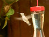August 27, 2009 - (Rockwoods Reservation / Wildwood, Saint Louis County, Missouri) -- Ruby-throated Hummingbird