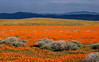 Antelope Vally Poppy Field.  Furled flowers, late, cool, afternoon.