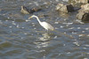 November 18, 2012 (Carlyle Dam [Kaskaskia Spillway] / Carlyle, Clinton County, Illinois) -- Great Egret