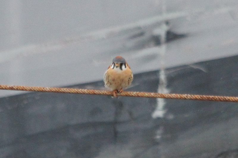 January 13, 2013 - (Melvin Price Locks and Dam [on cable attached to Army Corps of Engineers boat] / Alton, Madison County, Illinois) -- American Kestrel