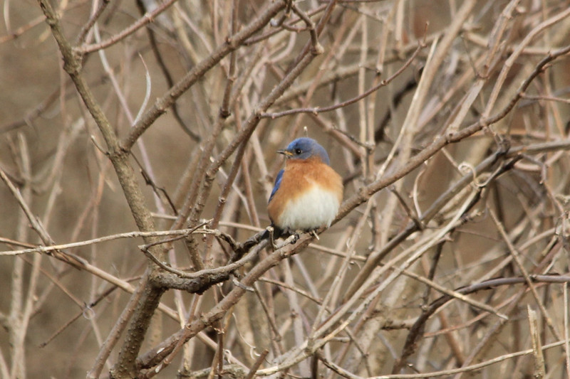 February 2, 2013 (Forest 44 Conservation Area [near prairie] / Fenton, Saint Louis County, Missouri) -- Eastern Bluebird