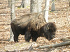 February 14, 2013 (Lone Elk County Park [near road] / Fenton, Saint Louis County, Missouri) -- Bison