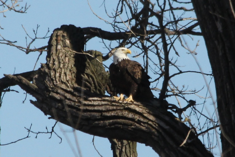 January 19, 2013 (Winfield Locks & Dam [Sandy Slough] / Winfield, Lincoln County, Missouri) -- Bald Eagle